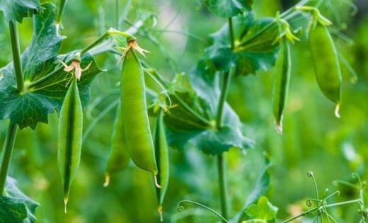 Pieejams atbalsts inovāciju un jaunu produktu, tehnoloģiju izstrādei lauksaimniecībā